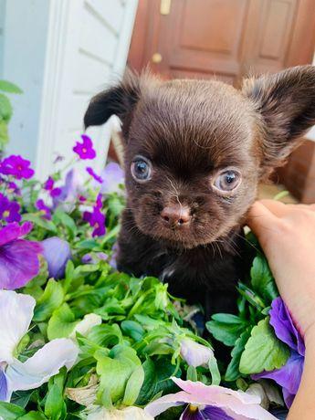 Chihuahua- Czekoladowe szczenięta