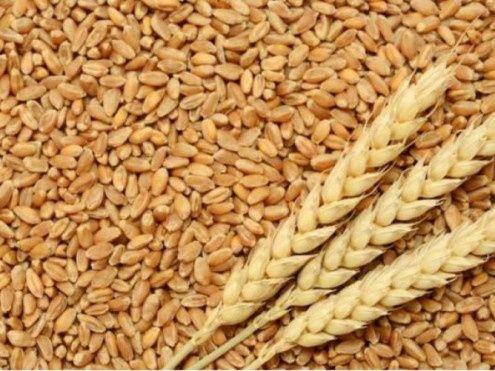 Пшениця озима 2021