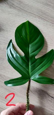 Philodendron squamiferum Filodendron cięty szczyt / cięty węzeł