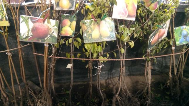 Саженцы плодовых деревьев, розы, виноград, клубника