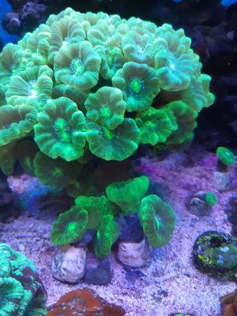 Koralowce Caulastrea