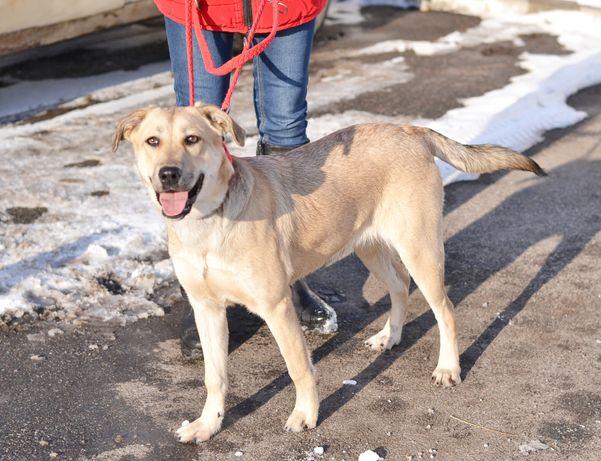 Лада –целовательная собачка с красивым светлым окрасом ищут новую сем