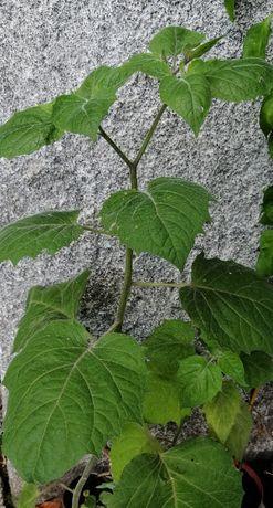 Physalis / fisalis - planta em vaso/muda