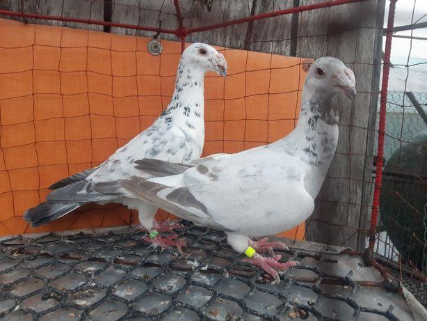 Rzeszowski rzeszowskie para ptaki gołębie ozdobne
