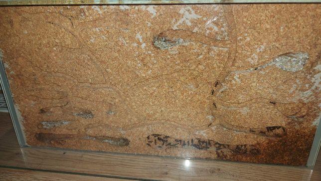 Sprzedam mrówki camponotus , messor barbarus  + formikaria