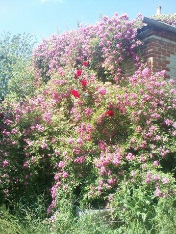 Вьющиеся розы.кампсис.форзиция.гибискус.китайская вишня.каприколь