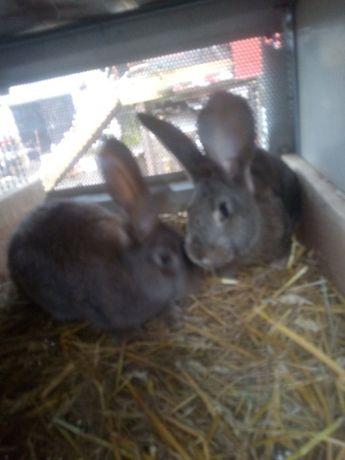 Sprzedam młode króliki baran angielski