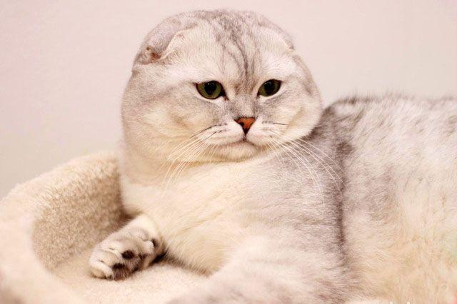 Чистокровный шотландский вислоухий кот Приглашает в гости кошечек