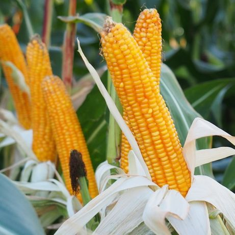 Kukurydza siewna Chicago,SL Enormo,Tipico wysyłka zaprawiona od ptaków