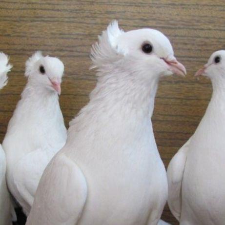 Бакинцы белые