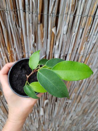 Ficus Benjamina / figowiec benjamina