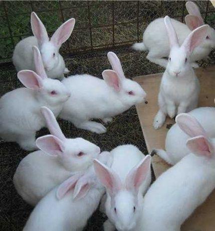 Кролики Білий паннон