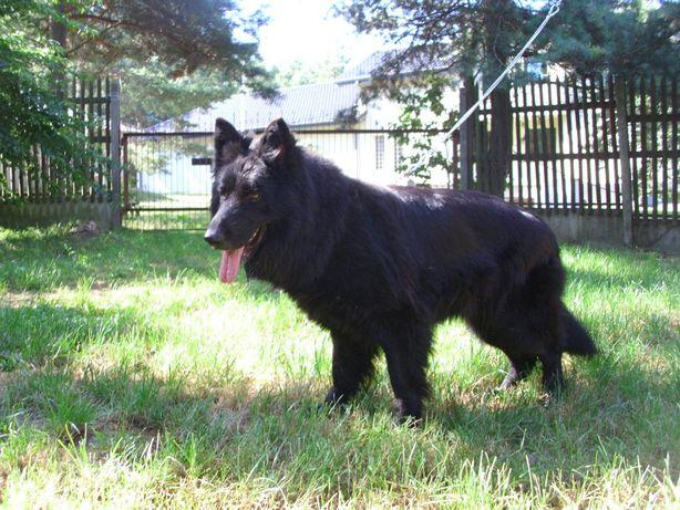 Czarny owczarek niemiecki - SUKA HODOWLANA długi włos