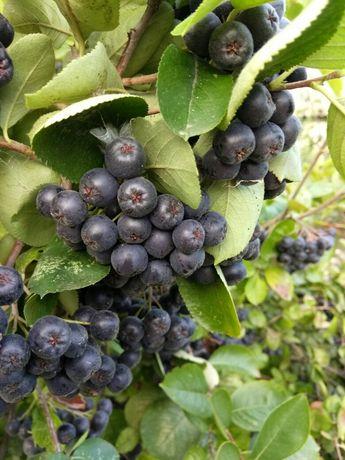 Продам черноплодную рябину (Арония)