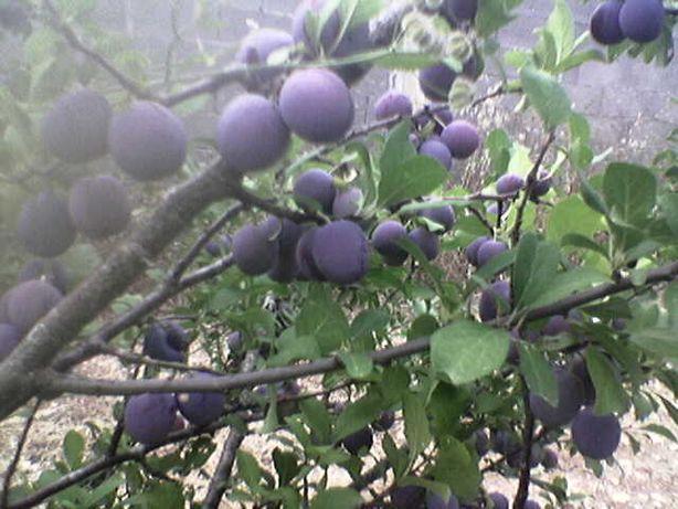 Àrvore de Abrunheiro Biológico