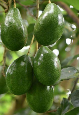 Árvores de abacate biológico