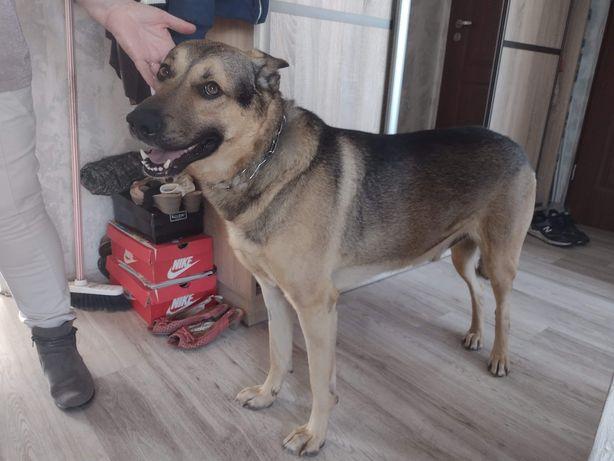 Ammo 6 letni pies do adopcji