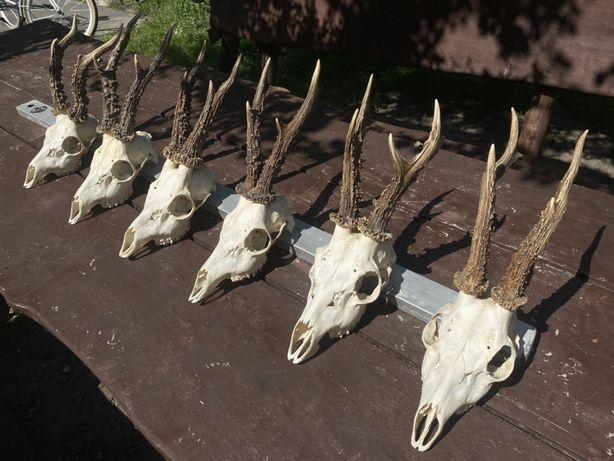 SKUP PAROSTKÓW poroża kozła czaszki zrzuty poroże odcięte wysoka cena