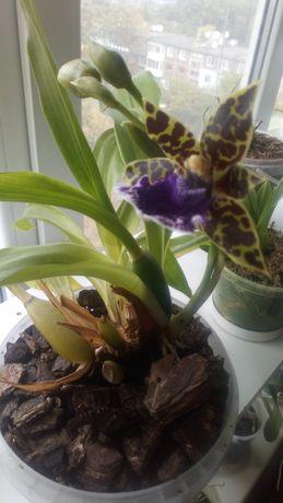 Орхидея зигопеталум ароматная