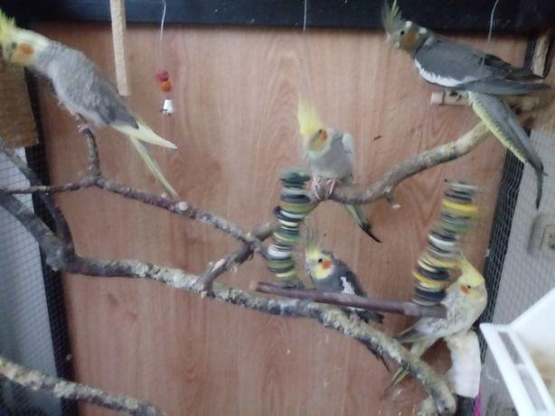 Papuga nimfa z własnej hodowli