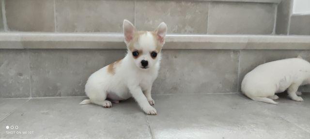 Chihuahua śliczne miniaturowe pieski krótkowłose - rozsądną cena
