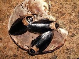 Блаберус краниферы блек