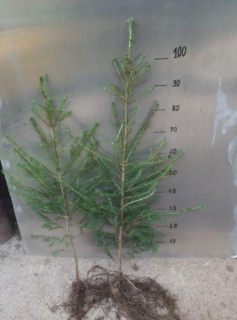 Świerk Pospolity żywopłot sadzonki 70 cm - 90 cm