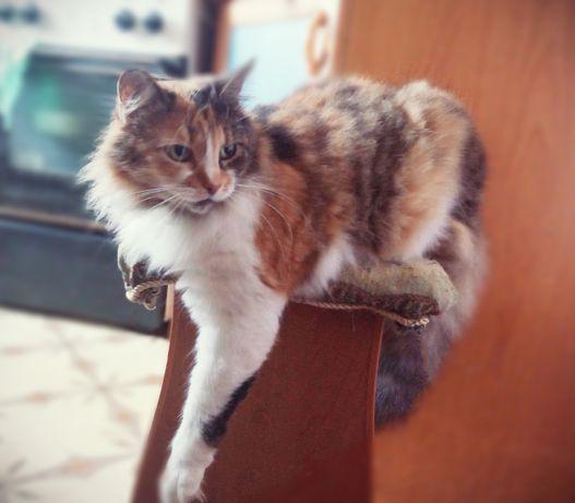 Кошка, длинношерстная, трехцветная