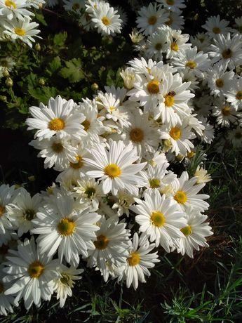 Садовые цветы -  дубок.
