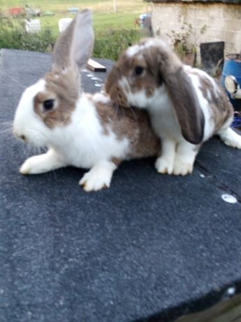 Sprzedam króliki młode, duże