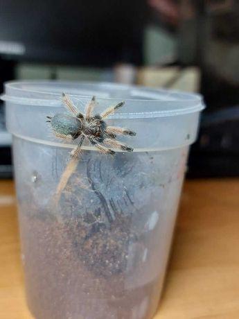 pająk ptasznik Psalmopoeus pulcher L3/4