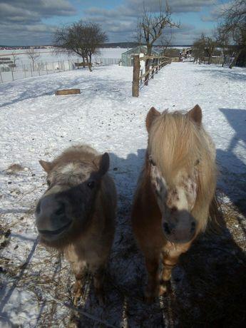 Konie kucyki ogierki