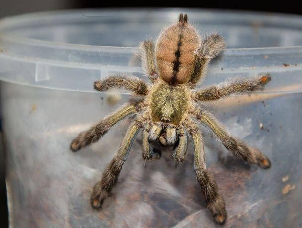 Psalmopoeus cambridgei самка пауков птицеедов
