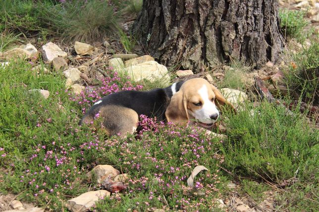 Cachorro Beagle com Lop e Afixo