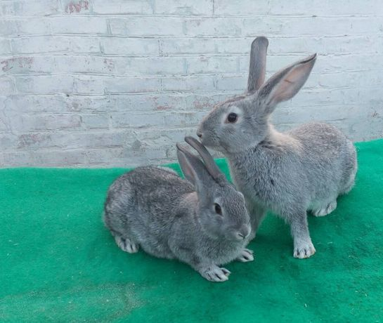 Продам кроликів.