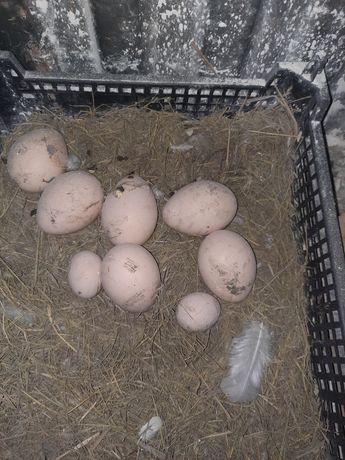 Jaja pawie. Pawie jaja.