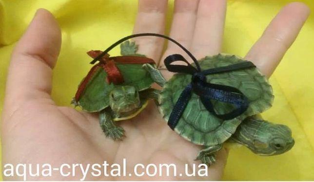 Черепаха маленькая ( мальчик и девочка)
