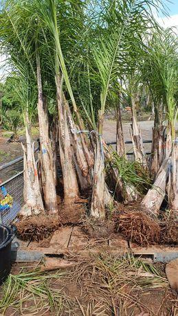 Coqueiros até 7 metros de altura de tronco.