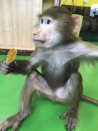Ручная обезьяна,питомник