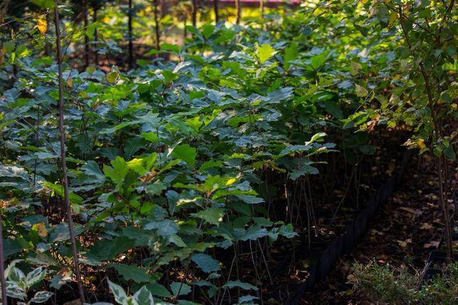 Dąb Czerwony (Quercus Rubra) 50-70 cm, donica 3l
