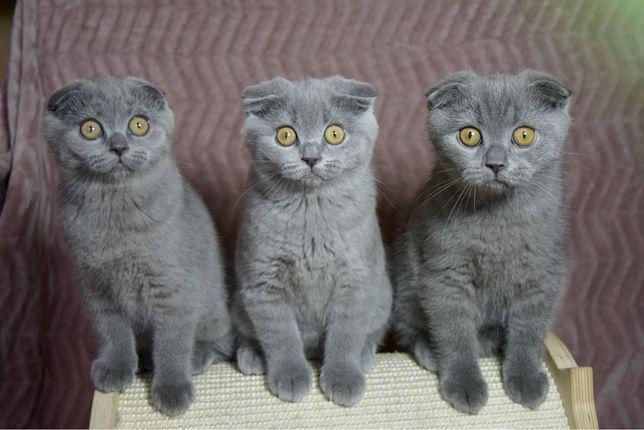 Kot i kotki szkockie