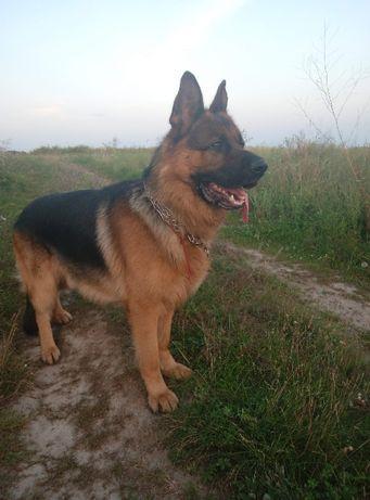 Вязка собак,кобель немецкой овчарки