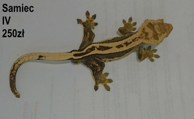 Gekon orzęsiony - ciliatus. Same lub z terrarium