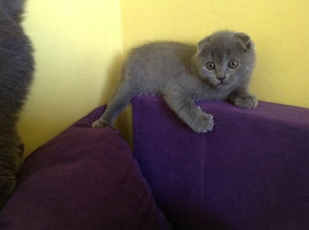 Шотландские котята, котенок ( scottish fold) вислоухий