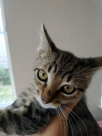 смугасто-cірі кошенята