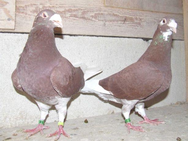 Gołąbki od Mariana nr 45 - gołębie staropolskie