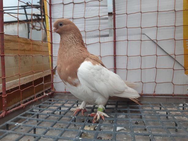 Sroczka sroki sroka samica ptaki gołębie ozdobne