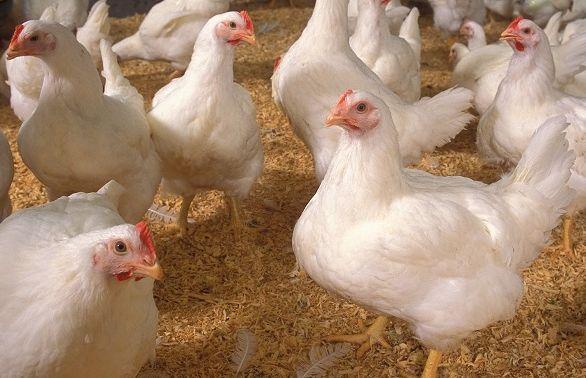 кури КОББ-500, яйця для інкубації