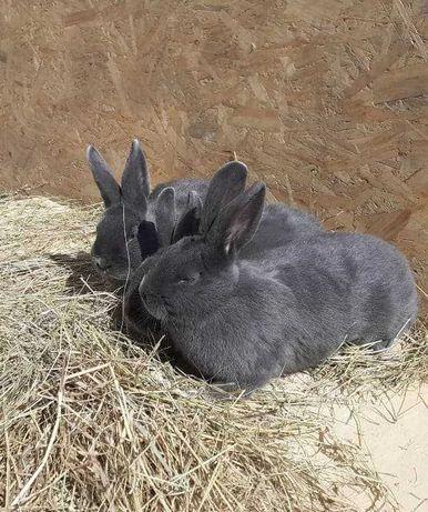 Sprzedam króliki wiedeńskie