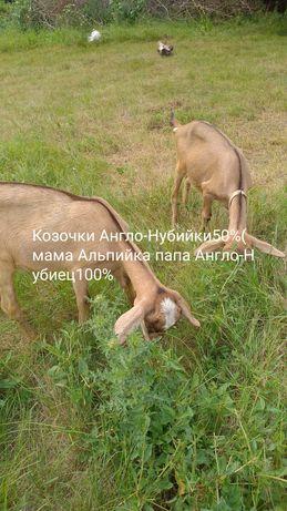 Продажа породистых дойных коз и ярок.